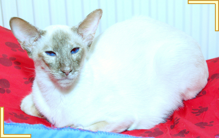 Cinnamon Tortie Point Siamese