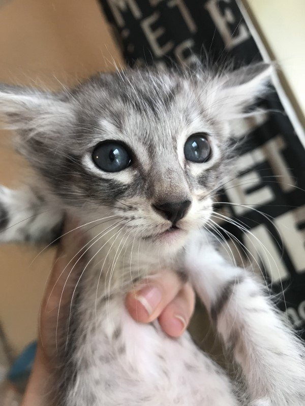 Oriental longhair kittens for sale